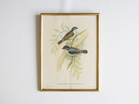 Cadre oiseaux John Gould -Pteruthius Erythropterus-