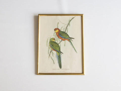 Lithographie oiseaux John Gould -Platycercus Icterotis-