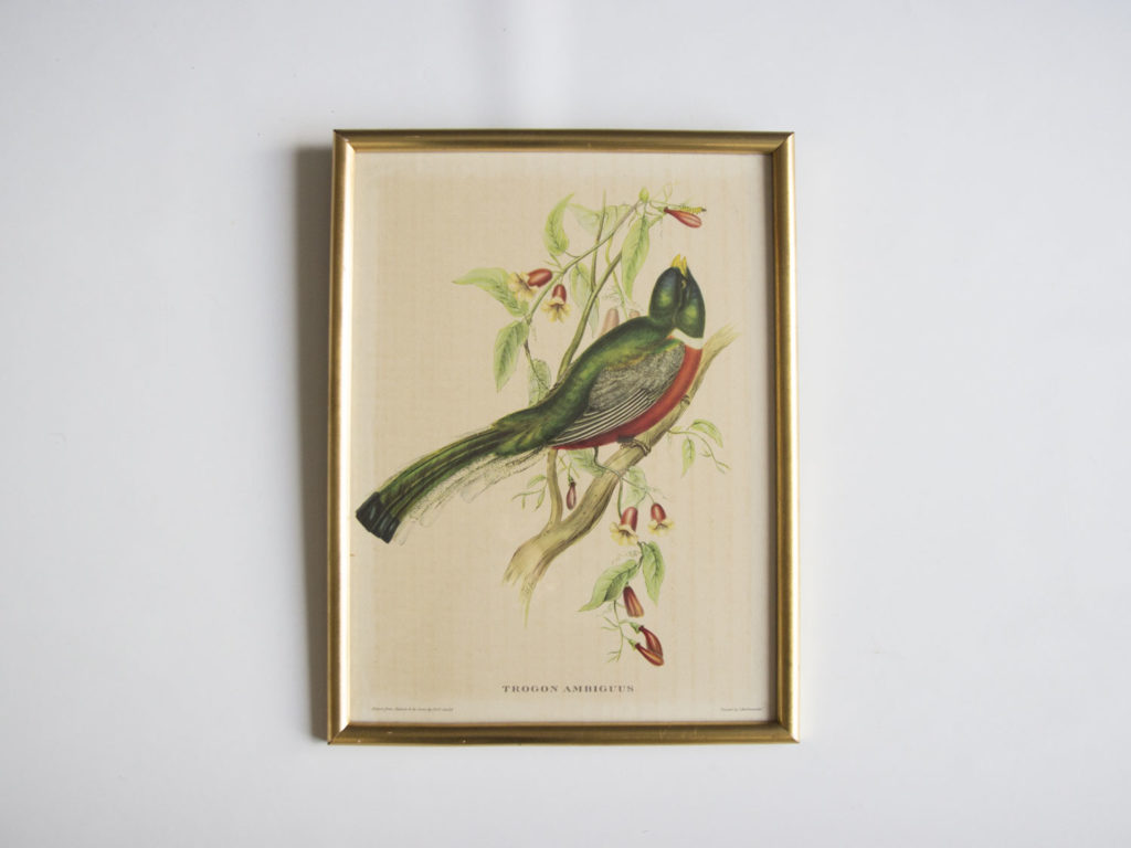 Cadre oiseau John Gould -Trogon Ambigus-